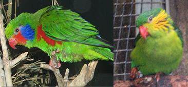 red-flanked.lory.pair.jpg