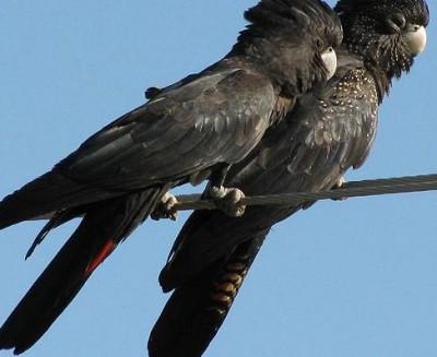 Cockatoo.Banksian-redtailed.pair.jpg