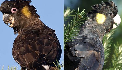 cockatoo.yellowtailedblack.pair.jpg
