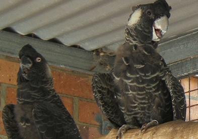 Cockatoo.White-tailed.pair.jpg