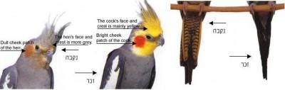 cockatiel.normal.grey.pair.jpg