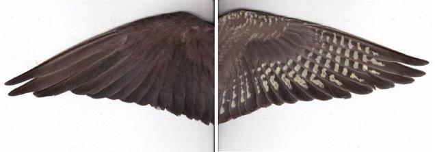 cockatiel.normal.grey.wing2.jpg
