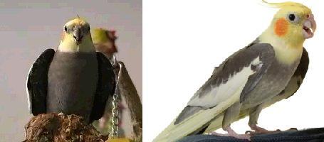 cockatiel.male2.jpg