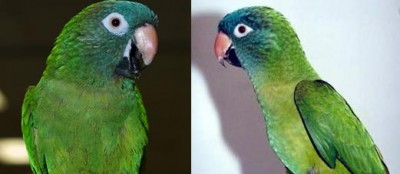 conure.blue.crown.male.hen.jpg