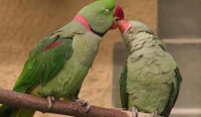 Alexandrine.Parakeet.pair.jpg