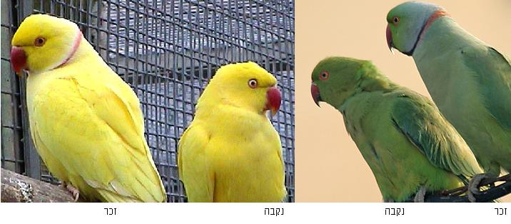 Yellow indian ring-necked parakeet.jpg