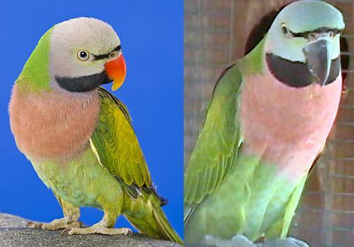 moustached.parakeet.pair.jpg