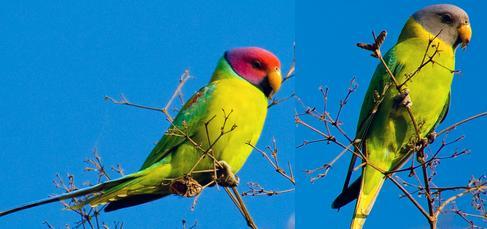 Plum.headed.Parakeet.Pair.jpg
