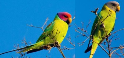 Plum.headed.Parakeet.Pair.jpg