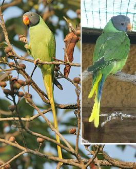 Slaty-headed.parakeet.pair.jpg