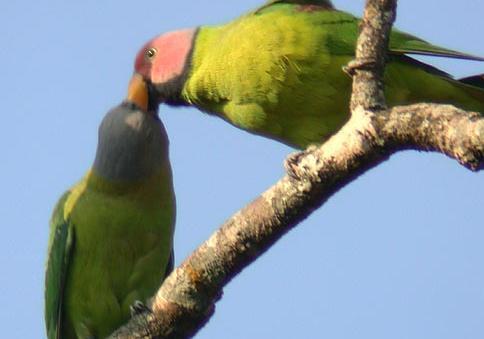 Blossom.headed.parakeet.pair.jpg