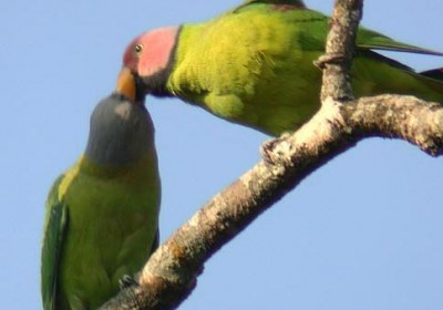 Blossom.headed.parakeet.pair.jpg