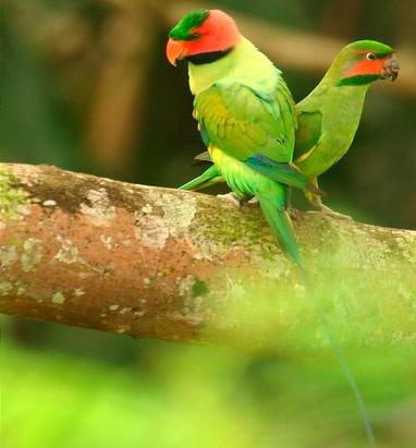long.tailed.parakeets.jpg