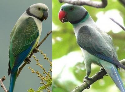 Malabar.Parakeet.male.jpg
