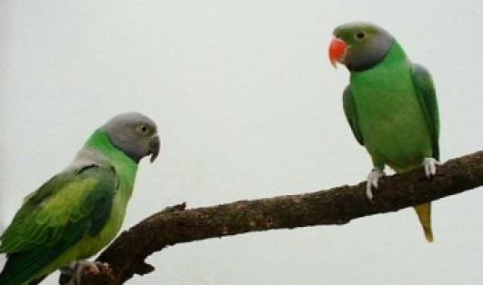 emerald.collared.parakeet.JPG