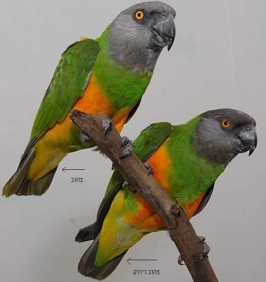 Senegal-Parrots-1.jpg