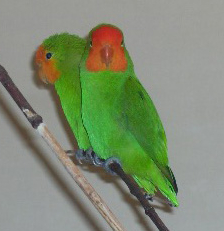 Red-headed Lovebirds.jpg
