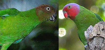 Red-cheeked.Parrot.hen.jpg