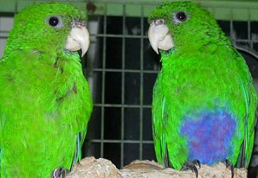 bluebelliedparrots.jpg