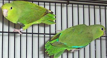 Mexican.Blue-rumped Parrotlets.JPG