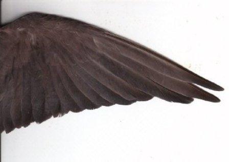 כנף של זכר קוקטייל