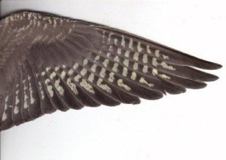 כנף של נקבת קוקטייל