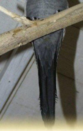 זנב של זכר קוקטייל