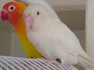 albino and lutino fischer's