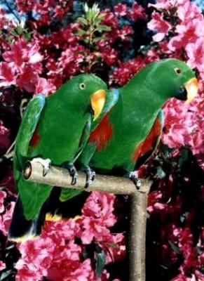 Aruensis-red-side-male