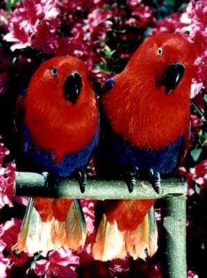 Aruensis-side-red