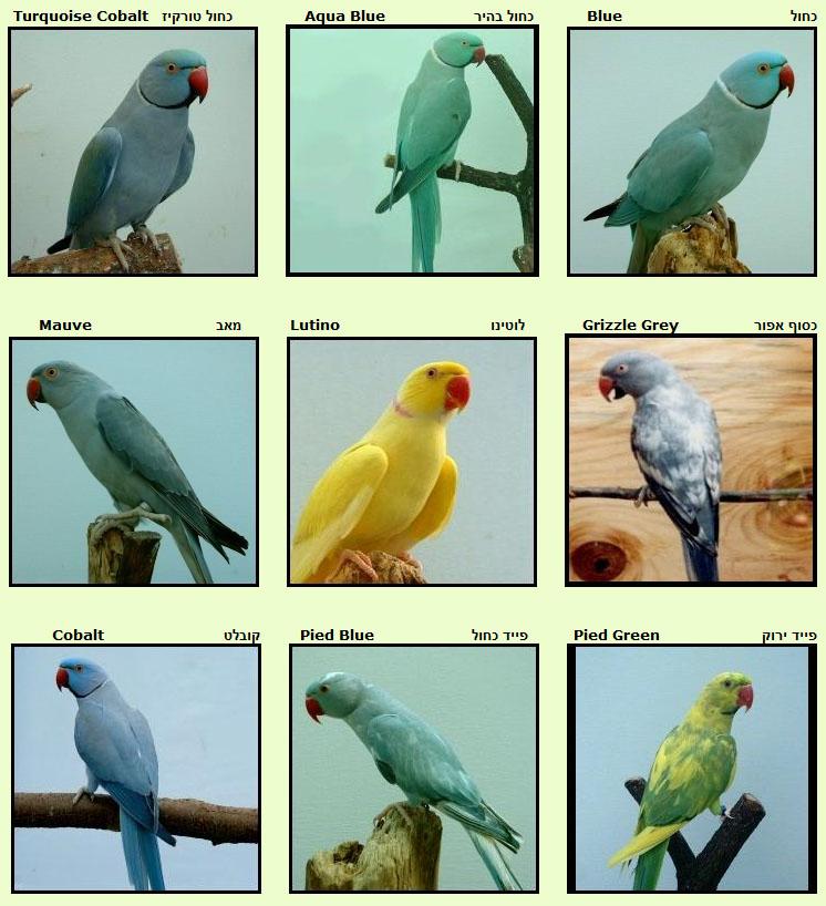 Parakeet3