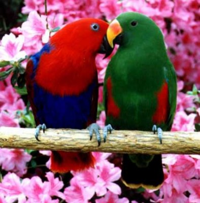 Red-Sided_Eclectus