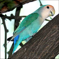 blue-Love-Bird