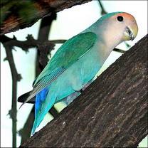blue-Love-Bird