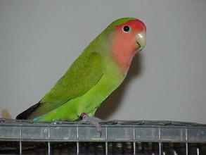 green peachface