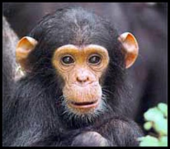 baby-chimpanzee-picture
