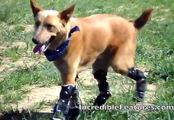 Dog-With-Four-Prosthetic-Legs